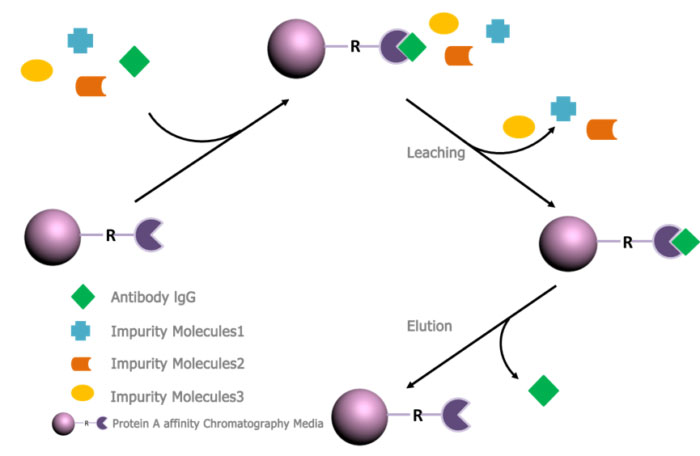 Protein A Affinity Chromatography Application